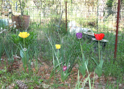 rachel-tulips2